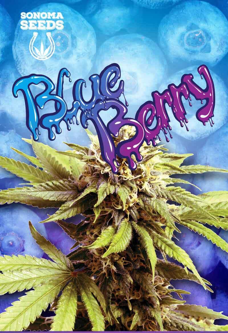 Blueberry OG Feminized Seeds