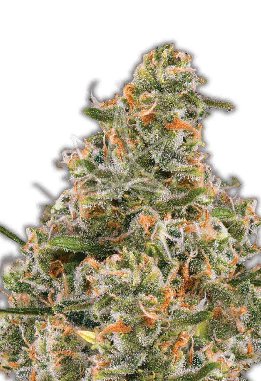 Bubblegum Autoflower Seeds Opt 1