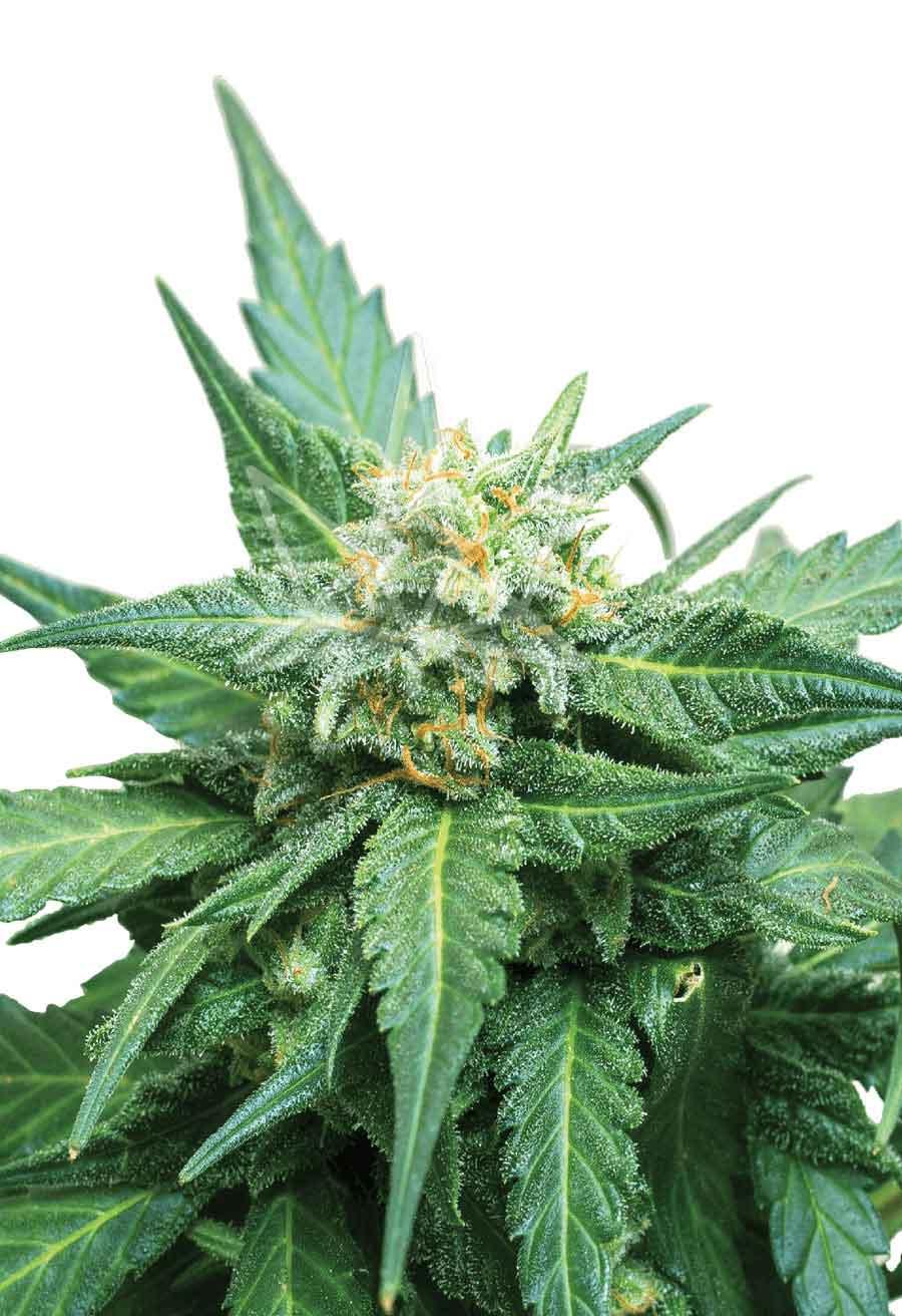 Cali Kush Cbd Seeds Opt 2