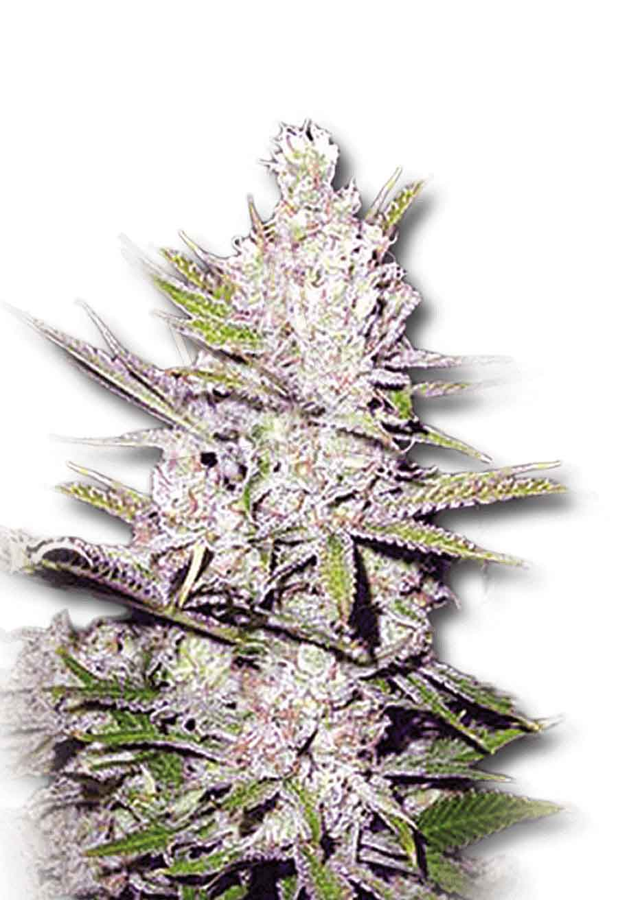 Haze Xtreme Regular Seeds