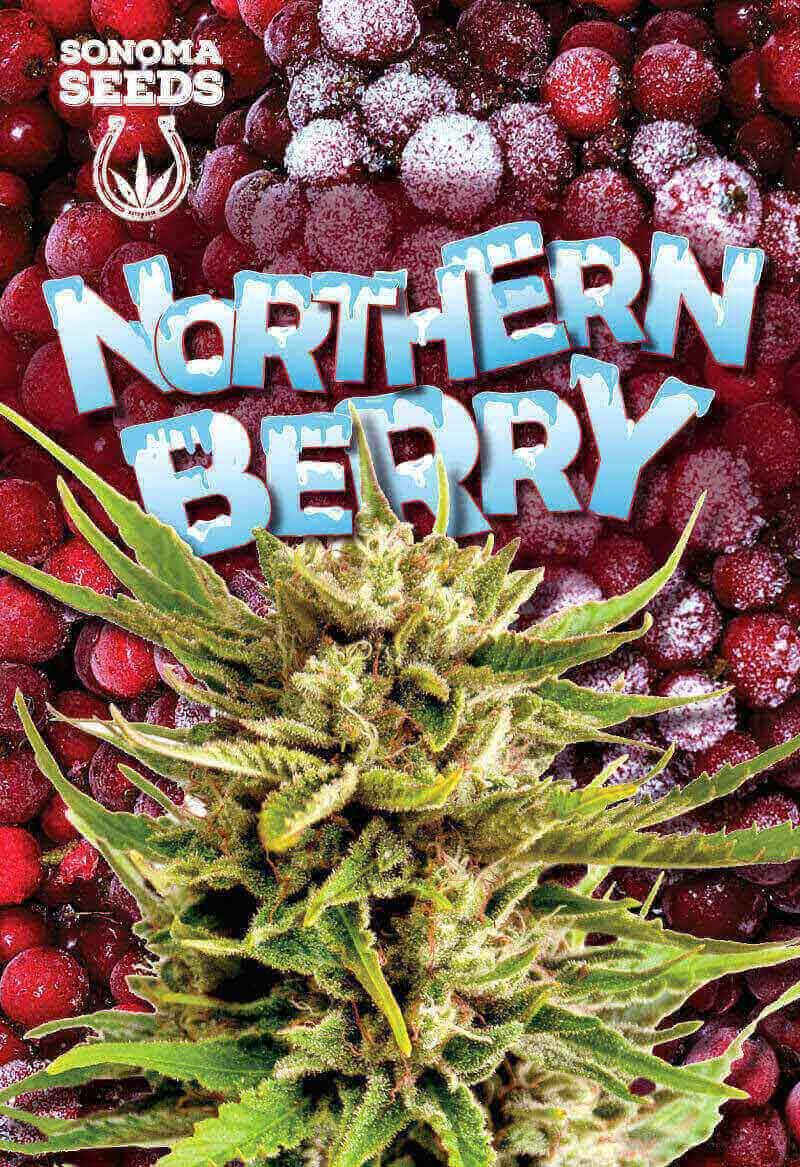 Northern Berry Autoflower Seeds