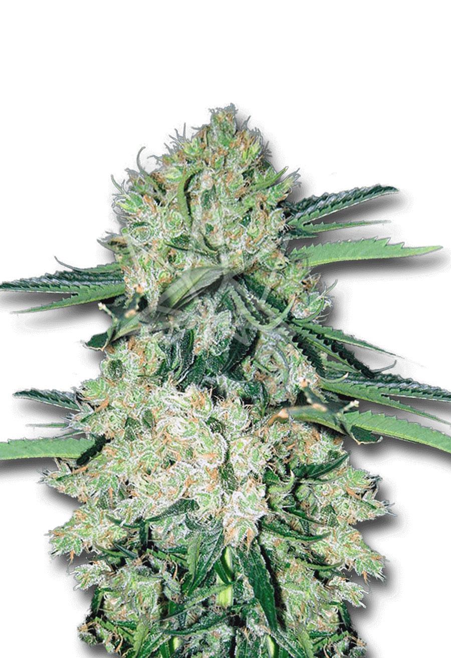 Nyc Diesel Autoflower Seeds Opt