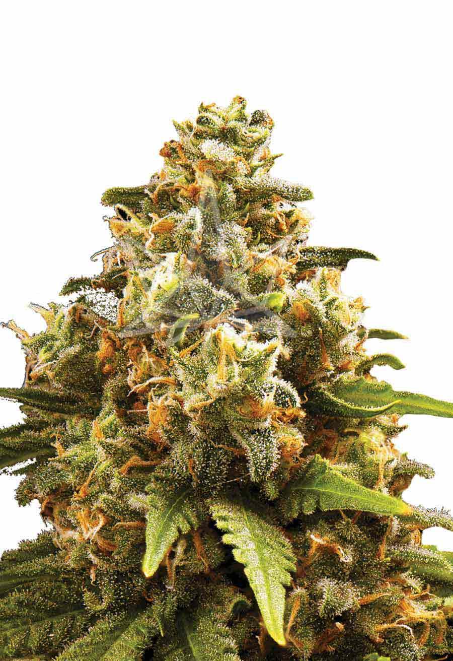 Og Kush Autoflower Seeds Opt 1