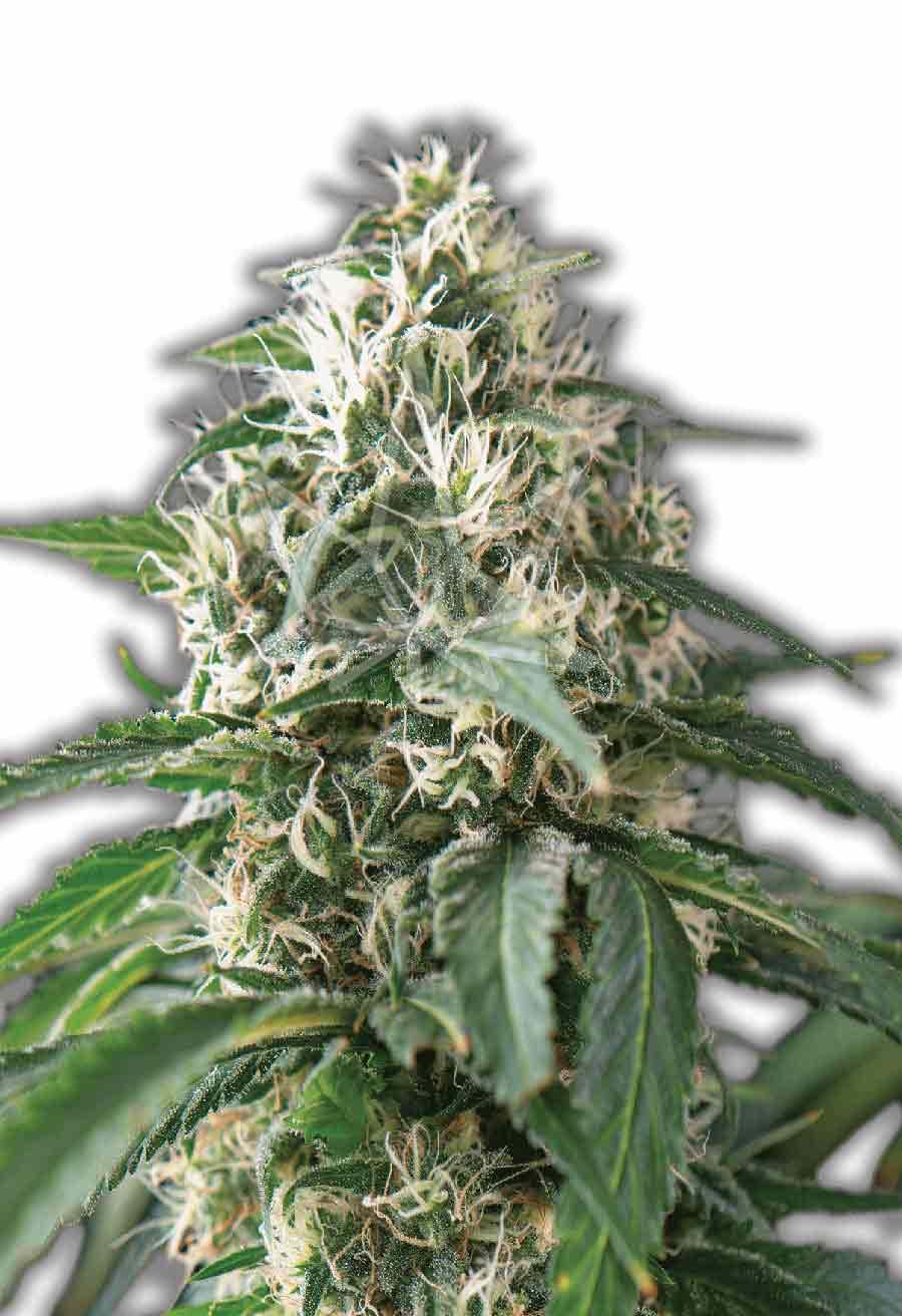 Purple Kush Autoflower Seeds Opt 1
