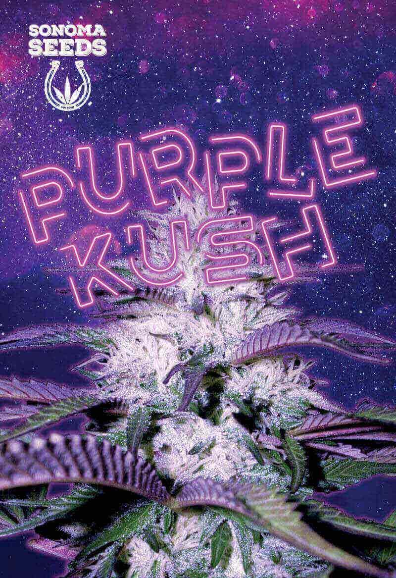 Purple Kush Autoflower Seeds