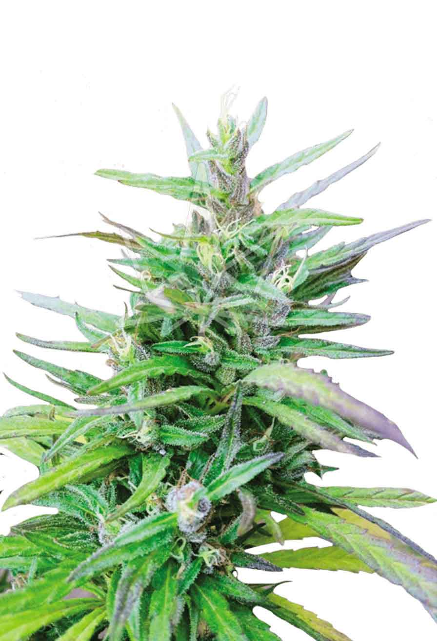 Sativa Star Feminized Seeds Opt 1
