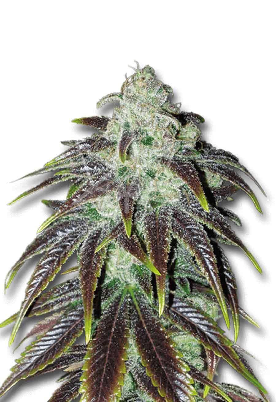 Sour Jack Feminized Seeds Opt 1
