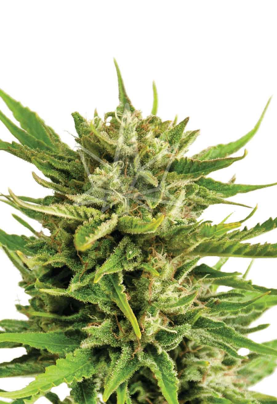 Sweeth Tooth Autoflower Seeds Opt